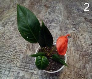 Шерцера (Scherzerianum) красный с одним покрывалом