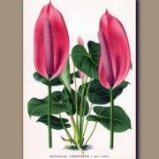 Anthurium Lindenianum