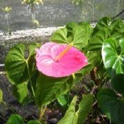 Розовый антуриум