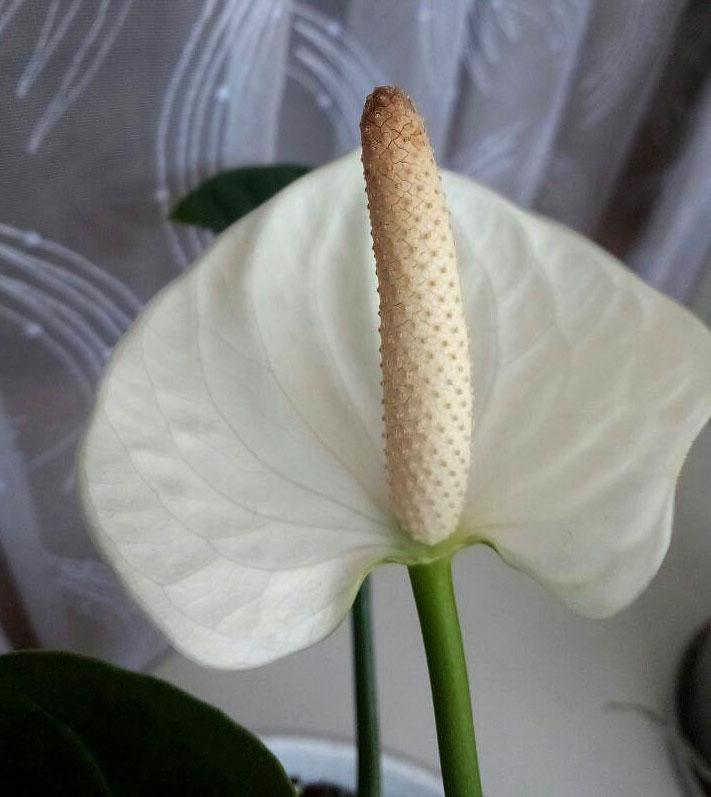 Цветок антуриум андрэ-белый
