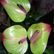 Anthurium Jaquar Green