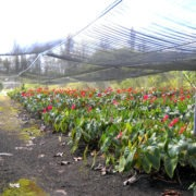 Цветы антуриума на плантации под навесом
