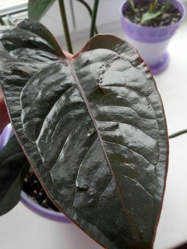 Пупырышки на листе антуриума