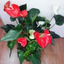 Антуриум цветет целый год