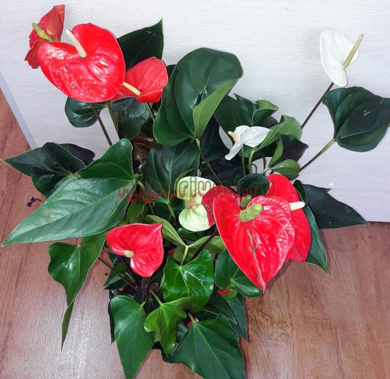 Антуриум цветет