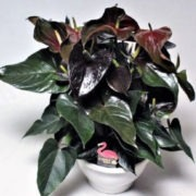 Париж (Anthurium Andreanum Black Paris)