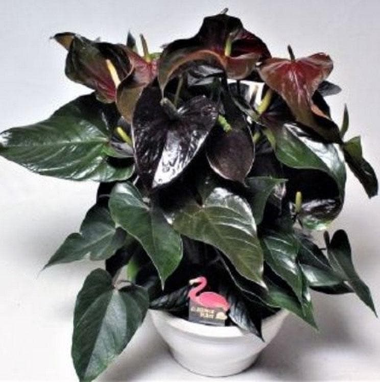 Anthurium Andreanum Black Paris