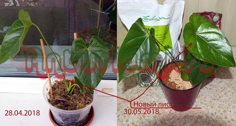 Антуриум Юта (Anthurium Andreanum Utah), быстрый рост