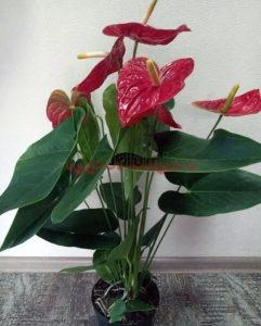 Anthurium Andreanum 'Dakota's