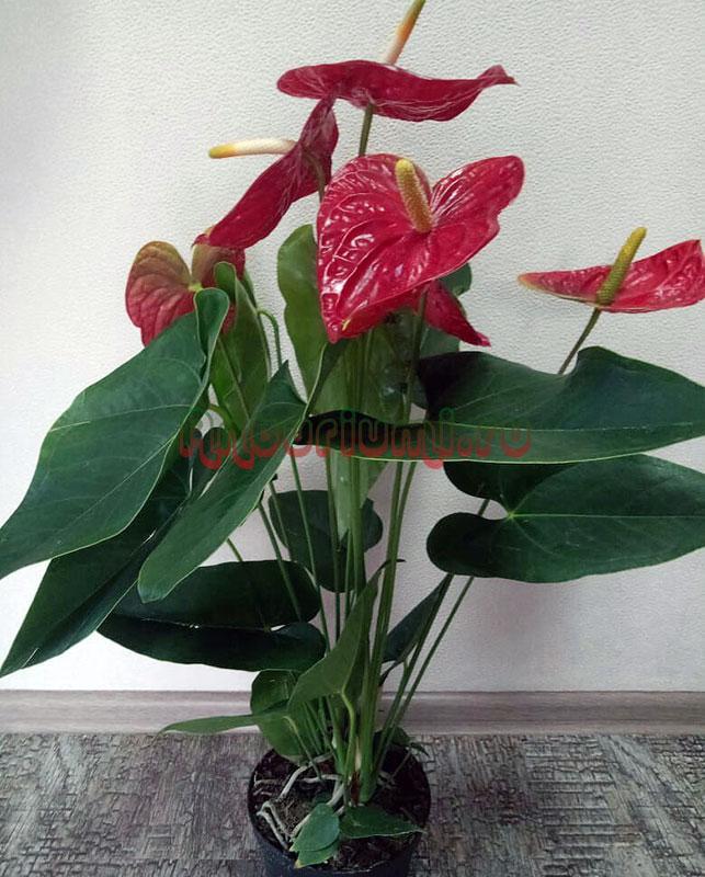 Anthurium Andreanum 'Dakota's