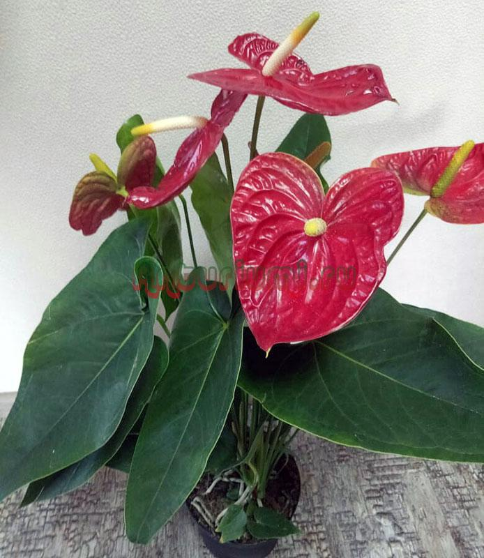 Anthurium Andraeanum 'Dakota's