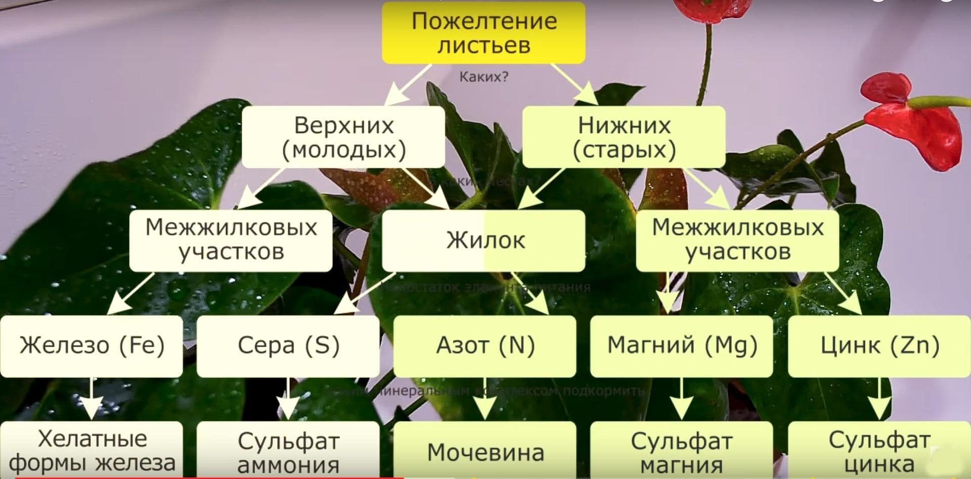 Схема нехватки питательных веществ Антуриума
