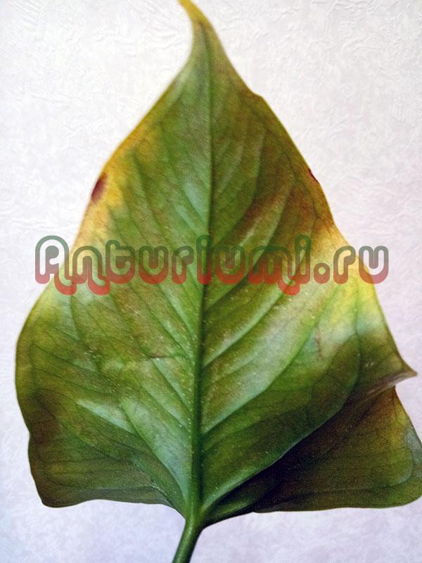 антуриум клещ на листьях