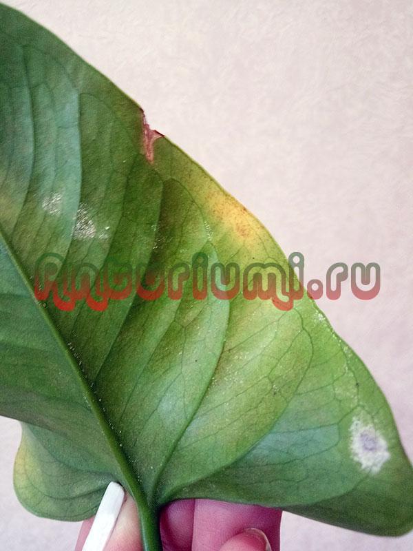 Яйца паутинного клеща на листе антуриума