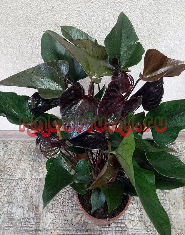 Антуриум Блэк Бьюти (Anthurium Black Beauty)