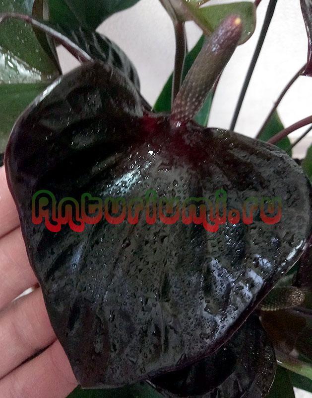 Цветок черного антуриума Блэк Бьюти (Anthurium Black Beauty)