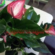 Куста цветка антуриум Ливиум (Livium)