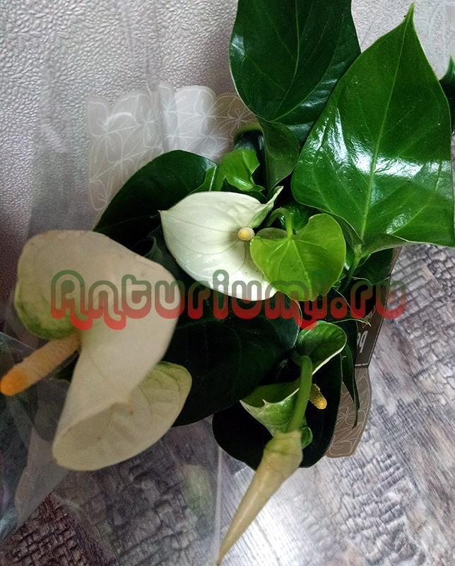 Большие цветы Антуриума Сиерра Вайт (Sierra White)