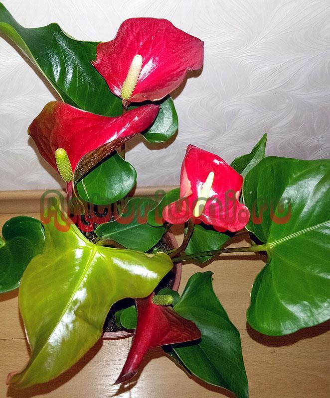 Адиос Ред (Adios Red) в домашних условиях