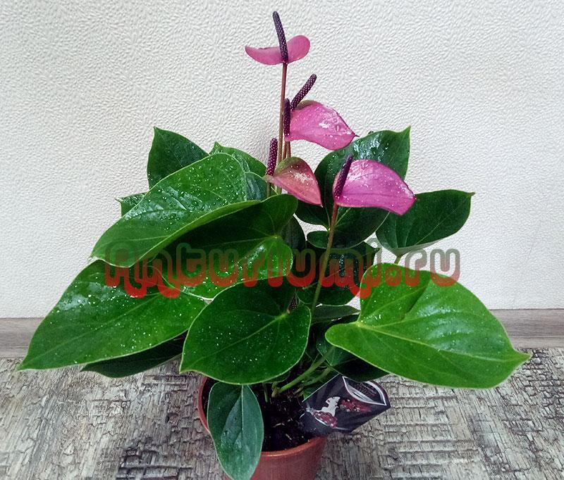 Пышный цветок Бэби Пурпур (Baby Purple)