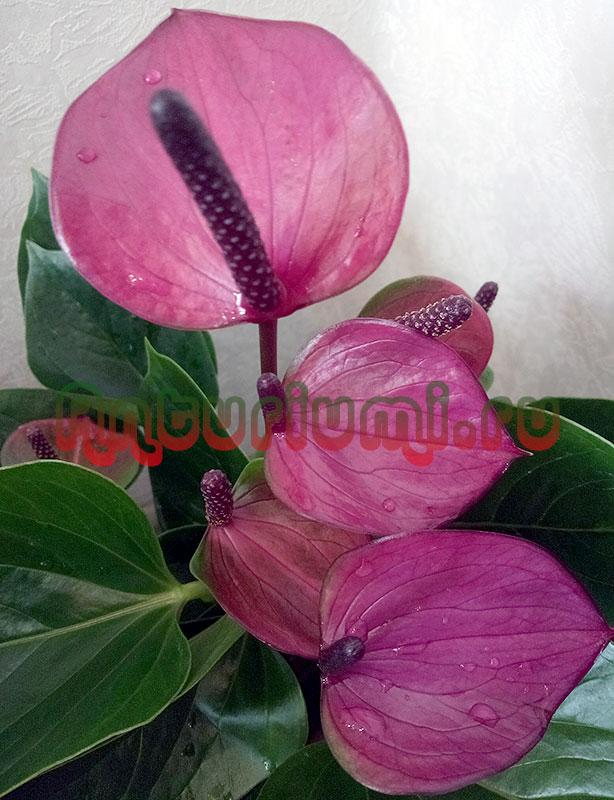 Цветы антуриума Бэби Пурпур (Baby Purple)