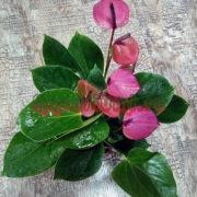 Антуриум Бэби Пурпур