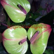 Цветы антуриума Ягуар Грин (Jaquar Green)