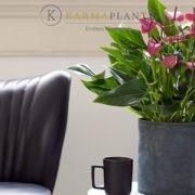Сорта Karma Plants