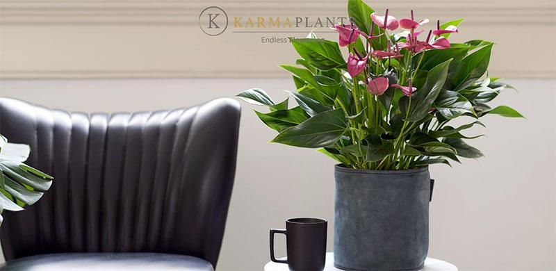 Коллекция сортов компании Karma Plants