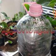 Антуриумы в тепличке для проращивания корней