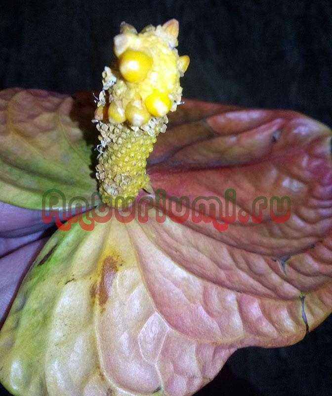 Семена на початке антуриума