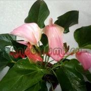 Антуриум розовый Джоли Пинк