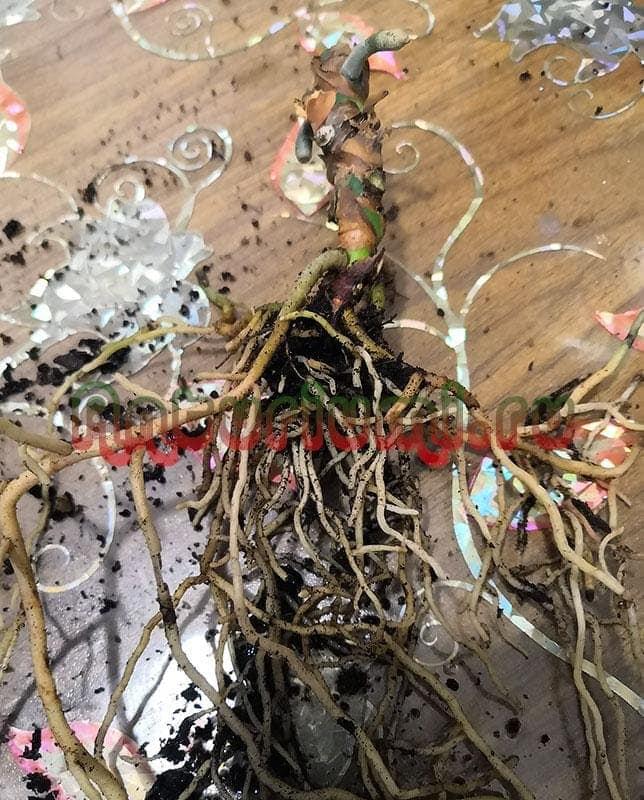 Голый ствол антуриума с корнями