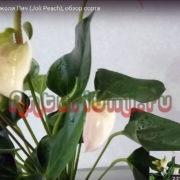 Антуриум Джоли Пич (Joli Peach)