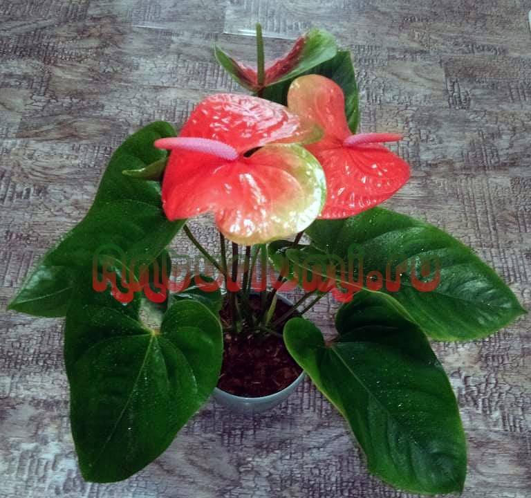 Flamingo Oranqe из пенька, первые цветы