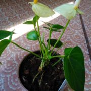 Наращивание корней антуриума