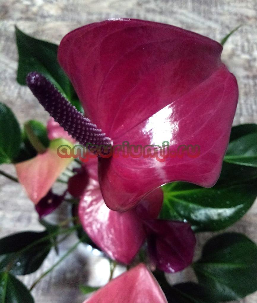 Цветок антуриума Карма Пурпур